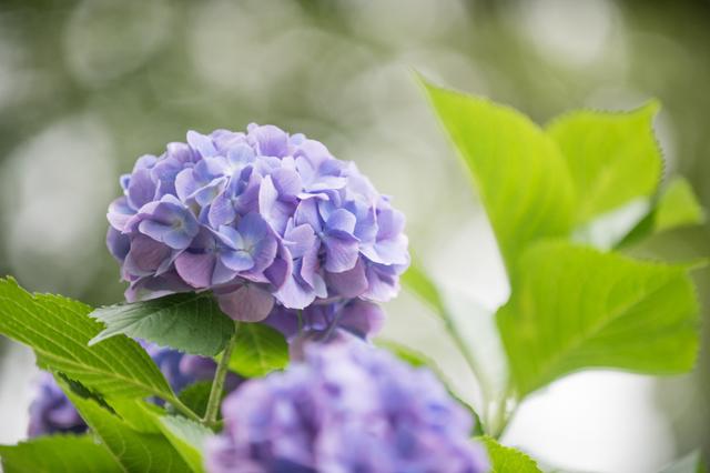 【昭和記念公園(輝いていた紫陽花たち)】②20160702