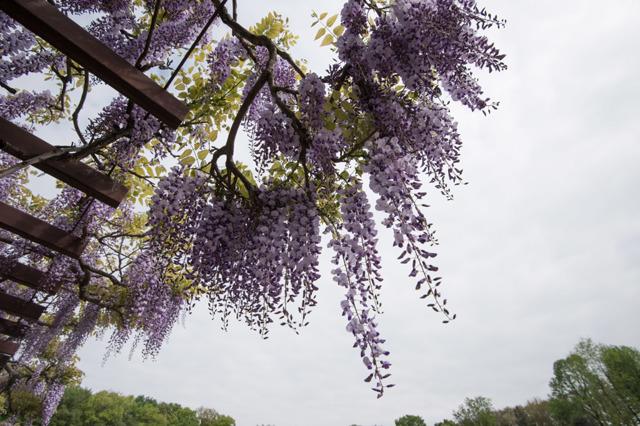 【神代植物公園(藤の花)】②20160424
