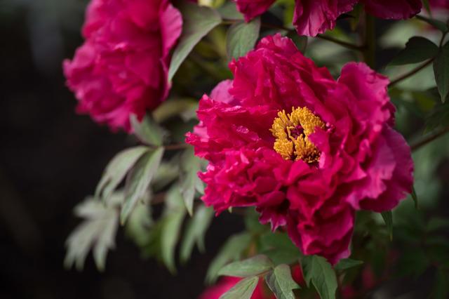 【神代植物公園(牡丹:紅輝獅子)】②20160424