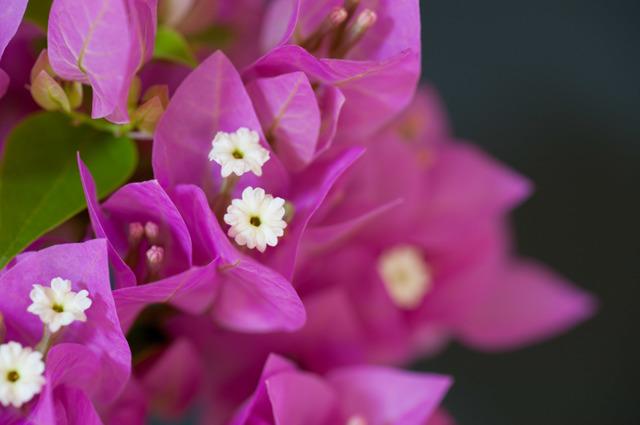 【庭の花(ブーゲンビリア)】⑤20150823