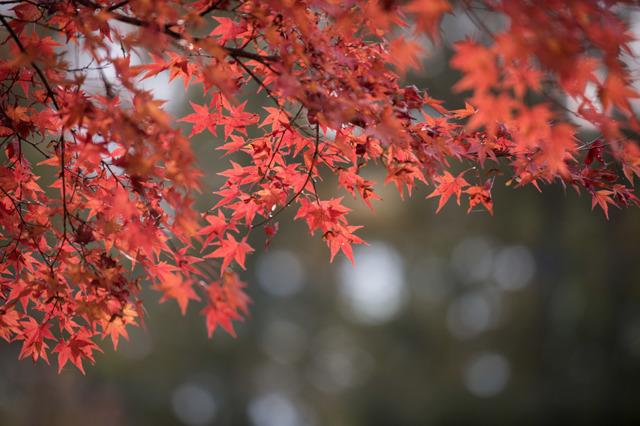 【紅葉(山中湖)】①20151101