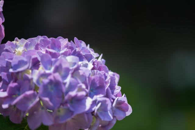 【正覚寺(紫陽花)】③20160604