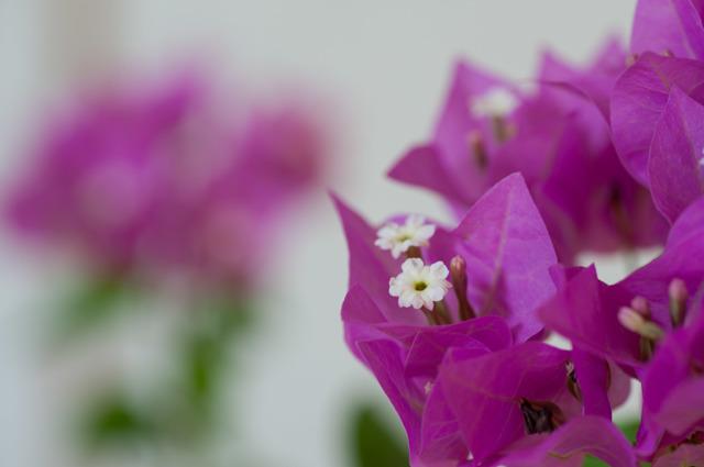 【庭の花(ブーゲンビリア)】④20150823