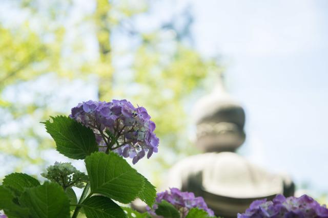 【正覚寺(紫陽花)】⑤20160604