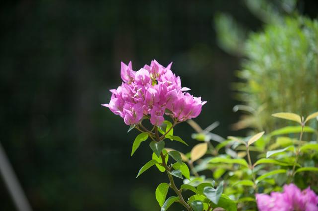 【庭の花(ブーゲンビリア)】①20150823
