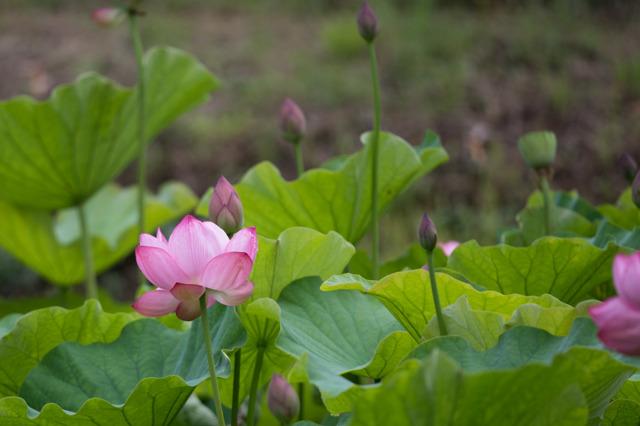 【昭和記念公園(こもれびの里の蓮)】20150704
