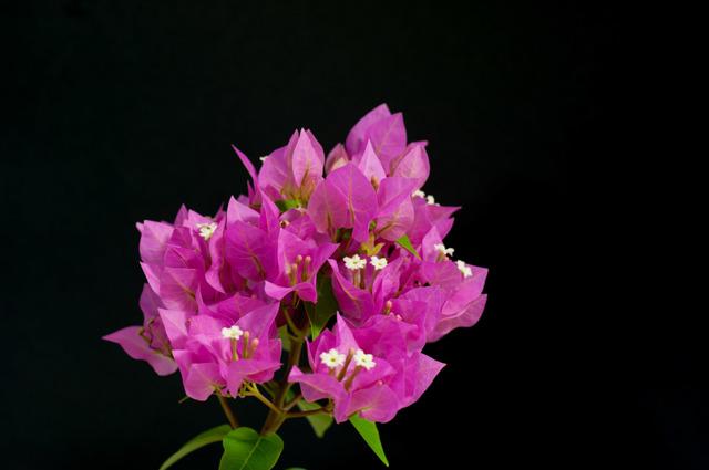 【庭の花(ブーゲンビリア)】③20150823