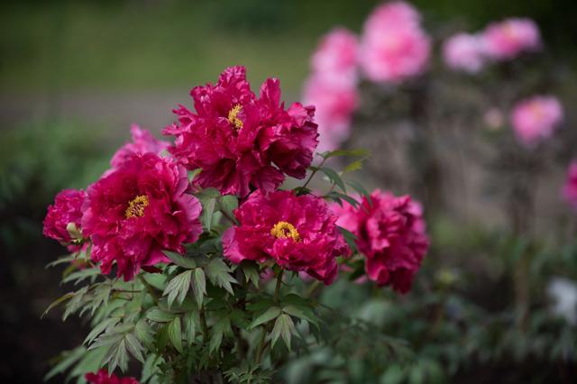 【神代植物公園(牡丹:紅輝獅子)】①20160424