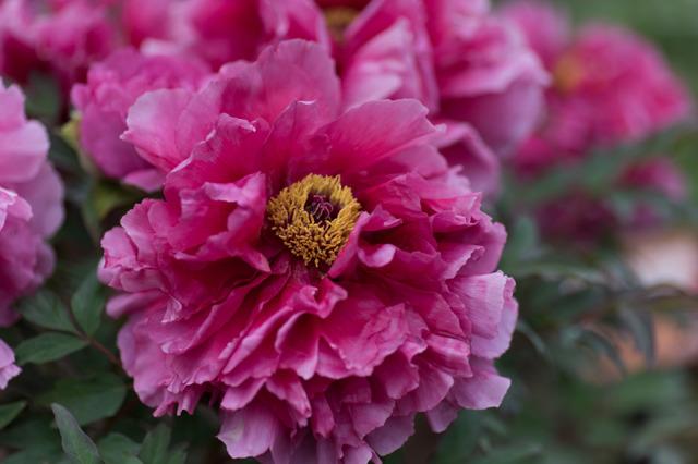 【神代植物公園(牡丹:紫紅殿)】20160424
