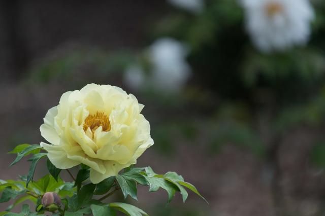 【神代植物公園(牡丹:黄冠)】20160424