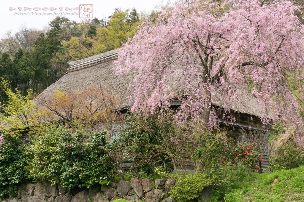 徳合枝垂桜2015 その1