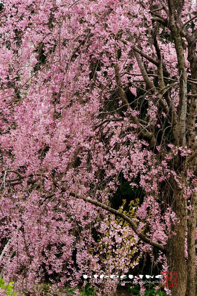 徳合枝垂桜2015 その4