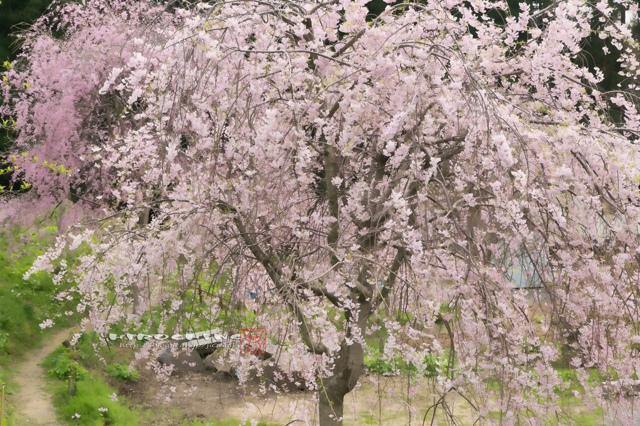 徳合枝垂桜2015 その3