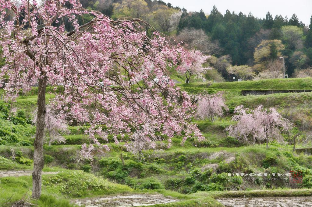 徳合枝垂桜2015 その2