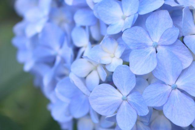 紫陽花 新宿御苑