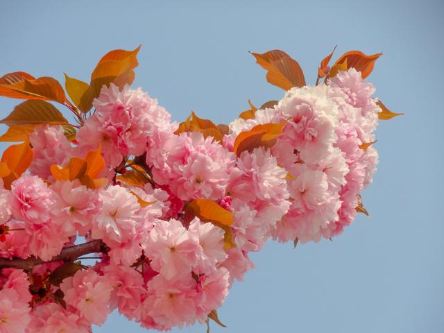八重桜かな