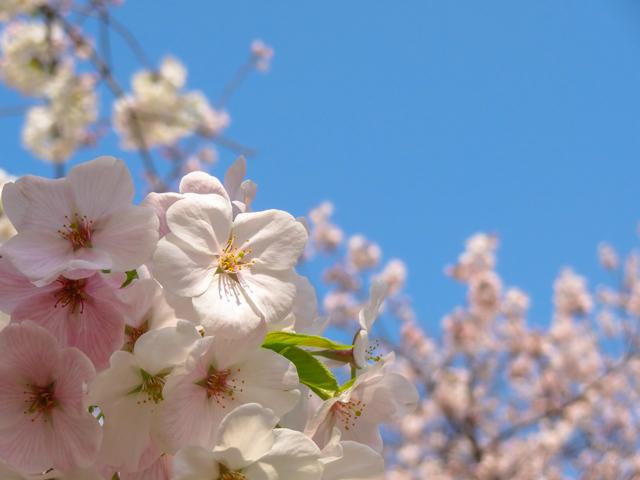 桜(天神中央公園)