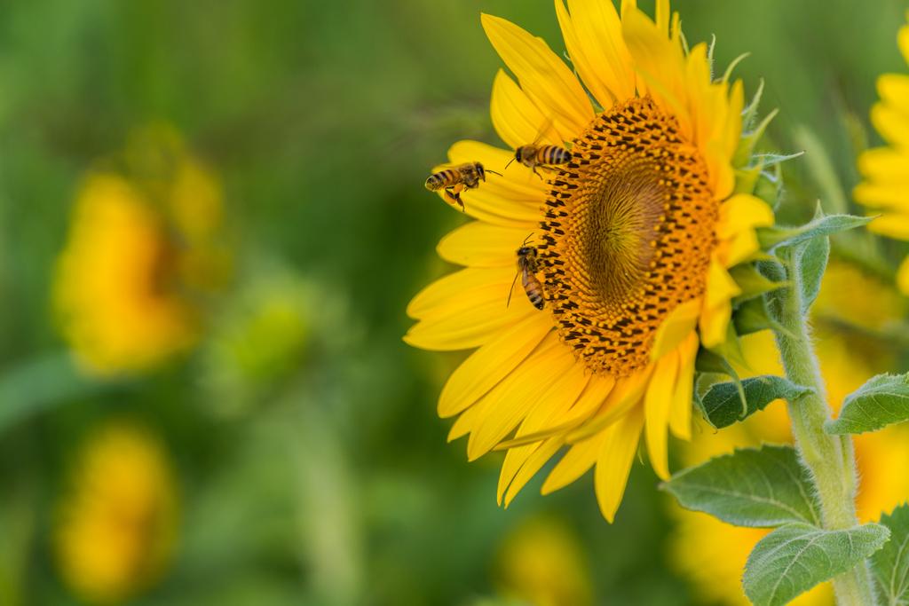 ミツバチの出勤