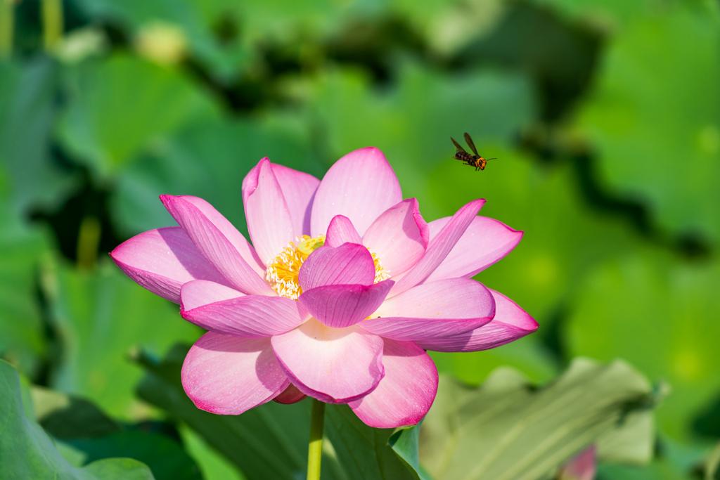 蓮とスズメバチ