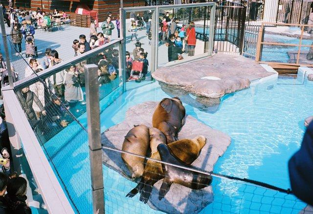 VOIGTLANDER(フォクトレンダー)のカメラ Bessa-R2Aで撮影した動物(オットセイ)の写真(画像)