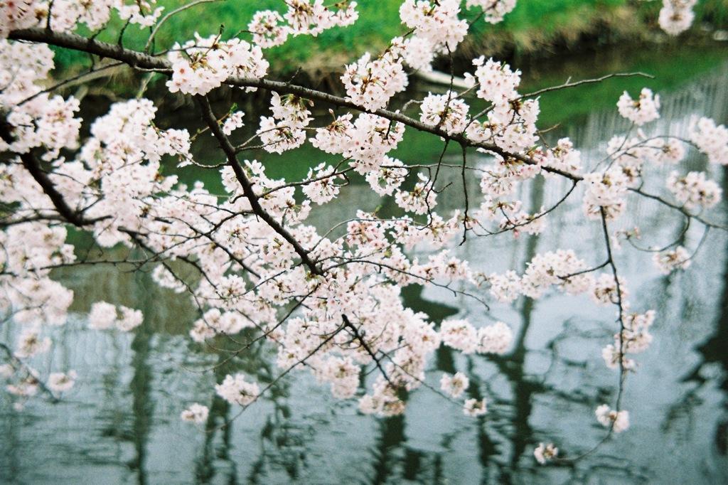 Summitarで桜 #2