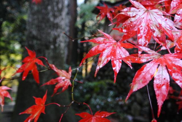 雨の日の紅葉狩り③