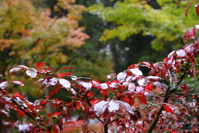 雨の日の紅葉狩り②