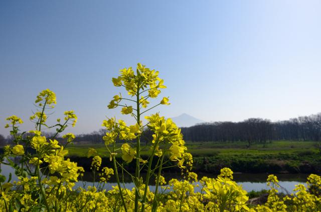 菜の花と筑波山