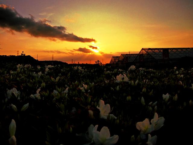つつじ畑と夕日