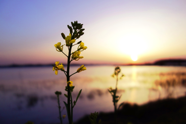 菜の花がみる夢