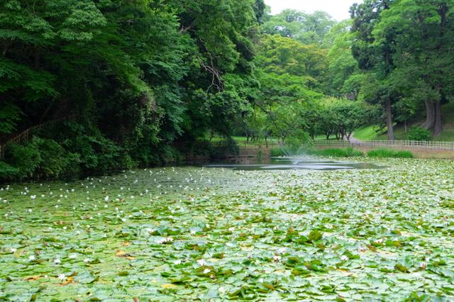 蓮が咲き乱れる姥が池
