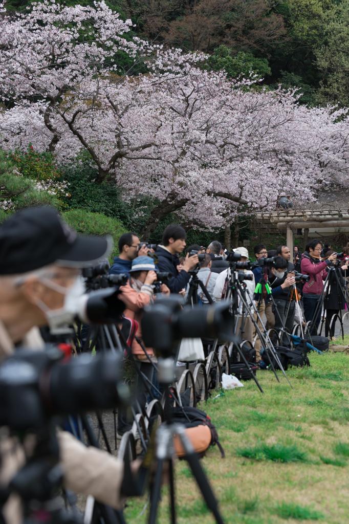 三渓園 桜ライトアップを待つカメラマン達