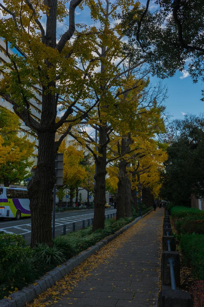 山下公園前 イチョウ並木
