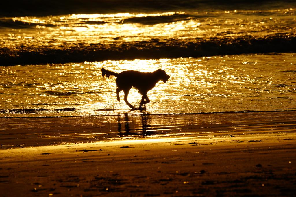 黄金色の犬