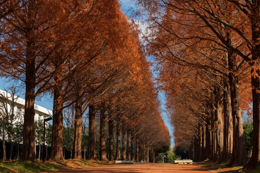 平塚総合公園のメタセコイア並木