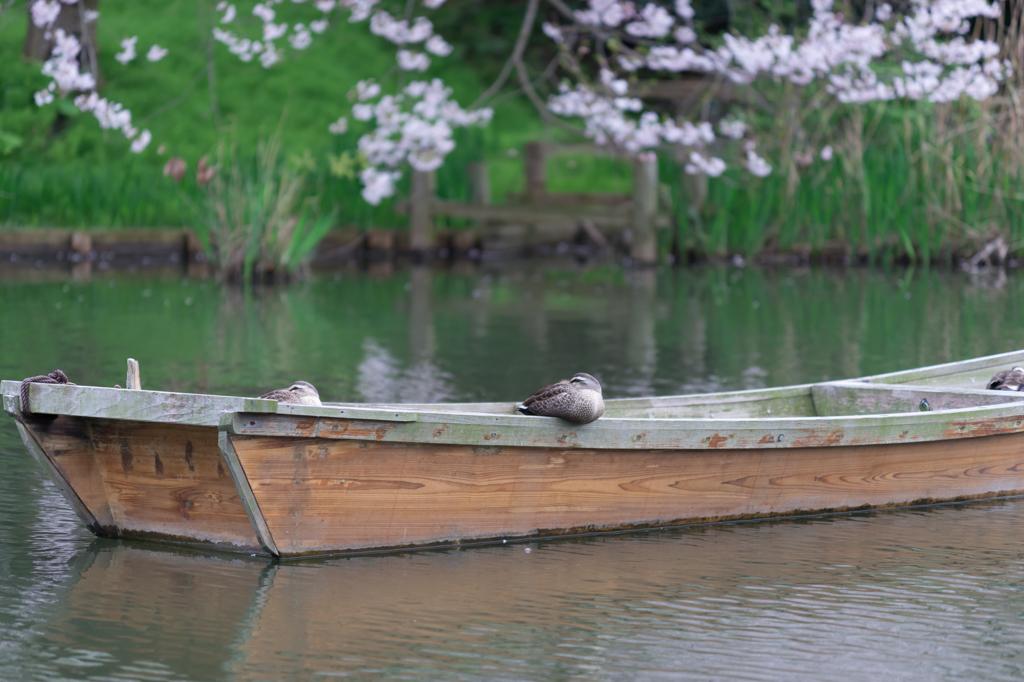 三渓園 船とカモ