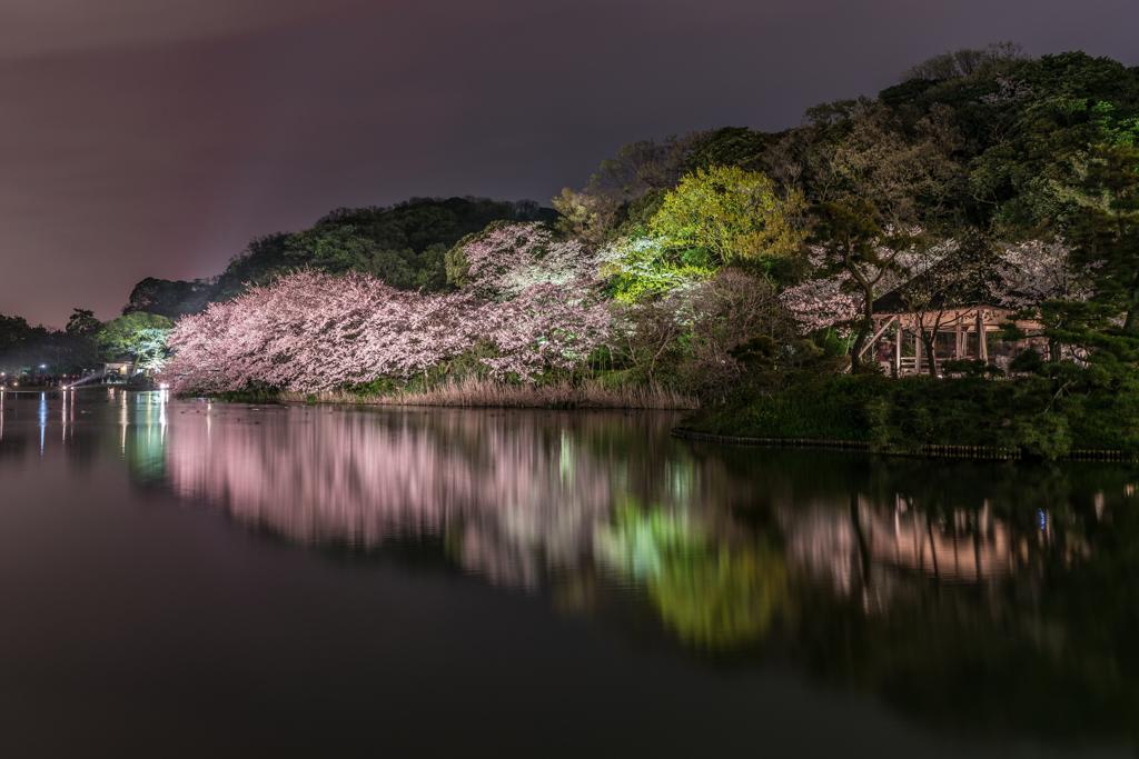三渓園 桜ライトアップ