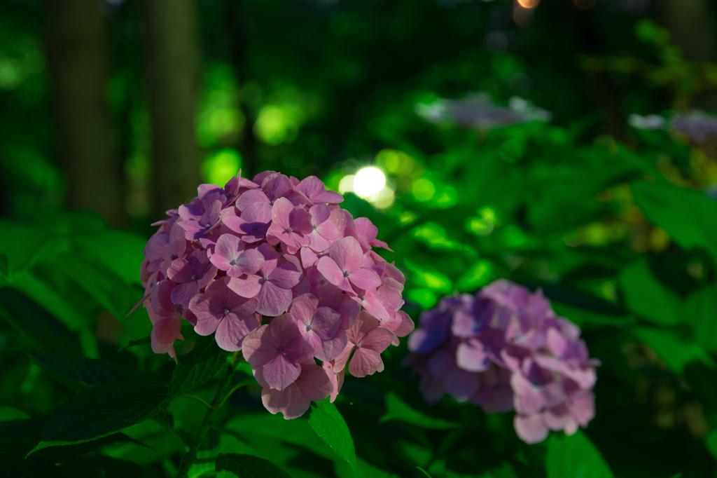 八景島紫陽花まつり
