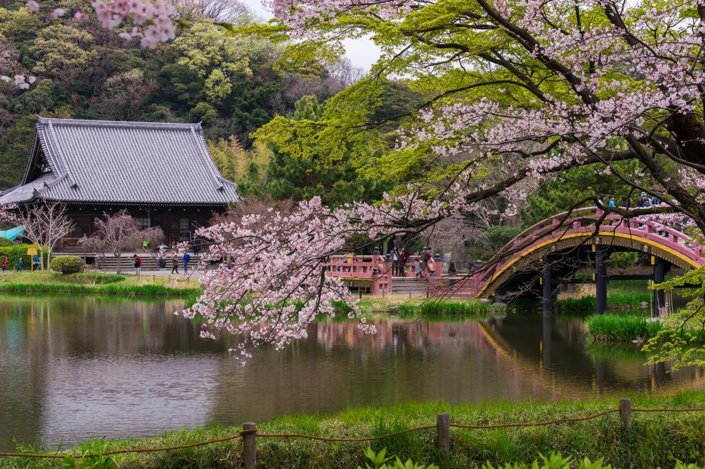2016 称名寺の桜