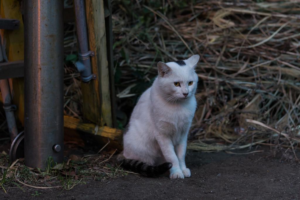 チョンマゲ猫