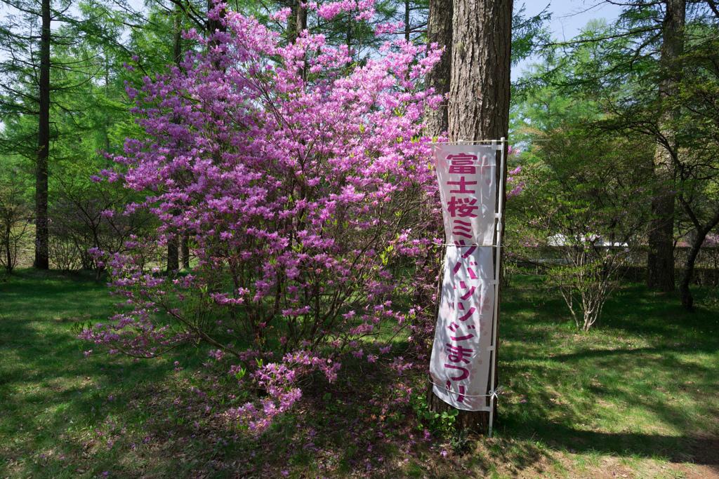 富士桜ミツバツツジまつり