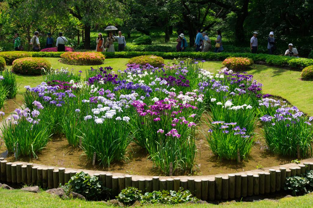 皇居東御苑 二の丸庭園 の菖蒲