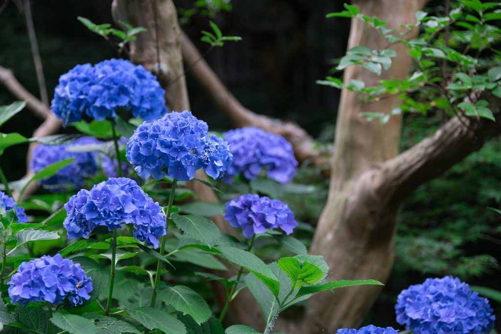 鎌倉宮の紫陽花