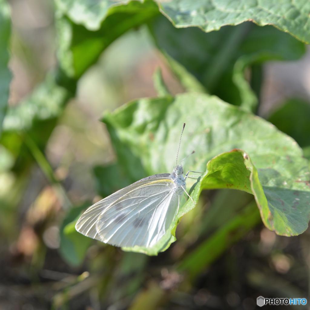 真っ白な蝶