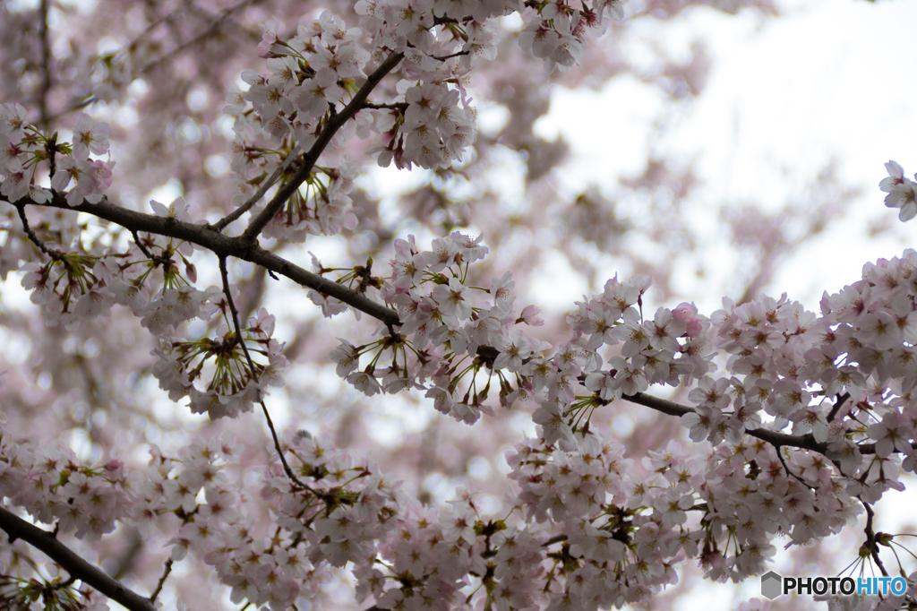 曇天下の桜