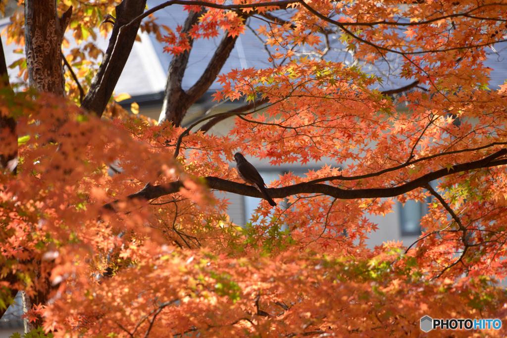 紅葉の中のヒヨドリ