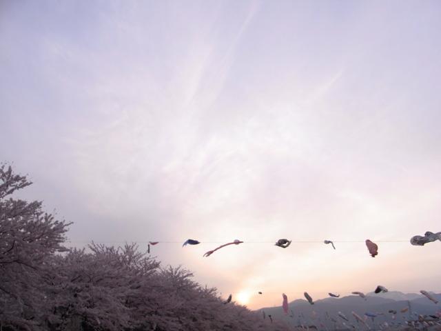 夕焼×桜×鯉幟×伊吹山