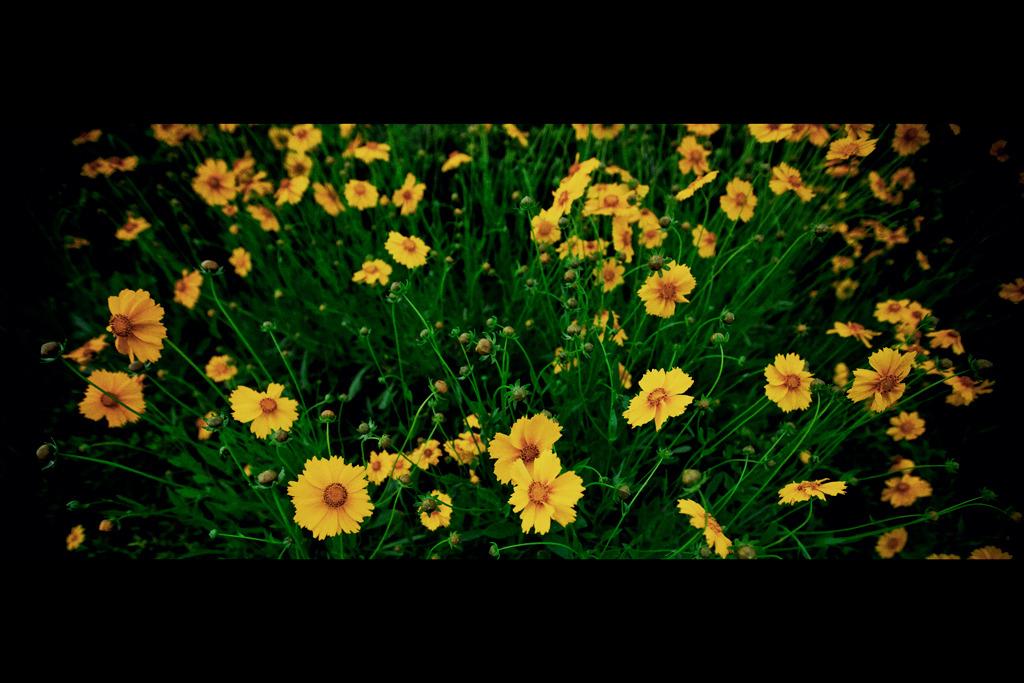 特攻花揺れる。神の風に吹かれて・・。2011