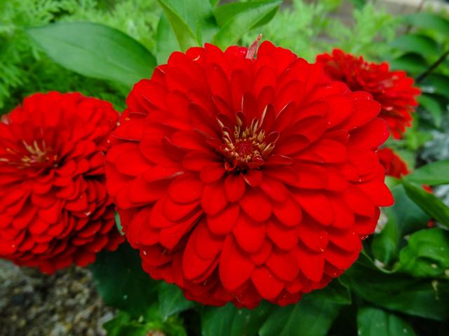 赤い花 ダリア