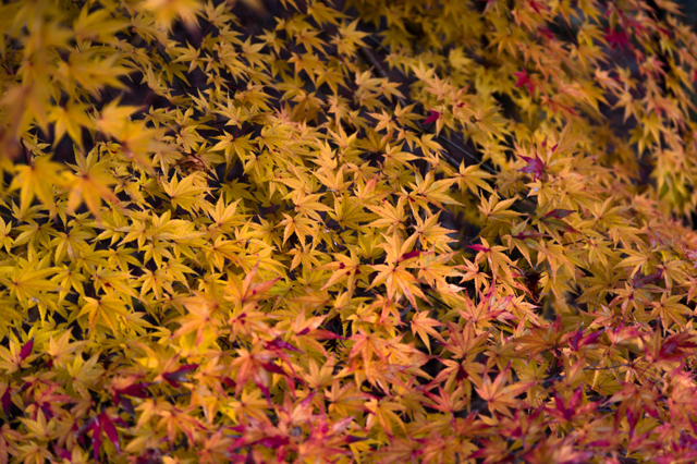 秋月レトロ市で紅葉